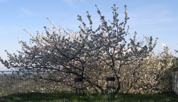 Ciliegio-in-fiore.jpg